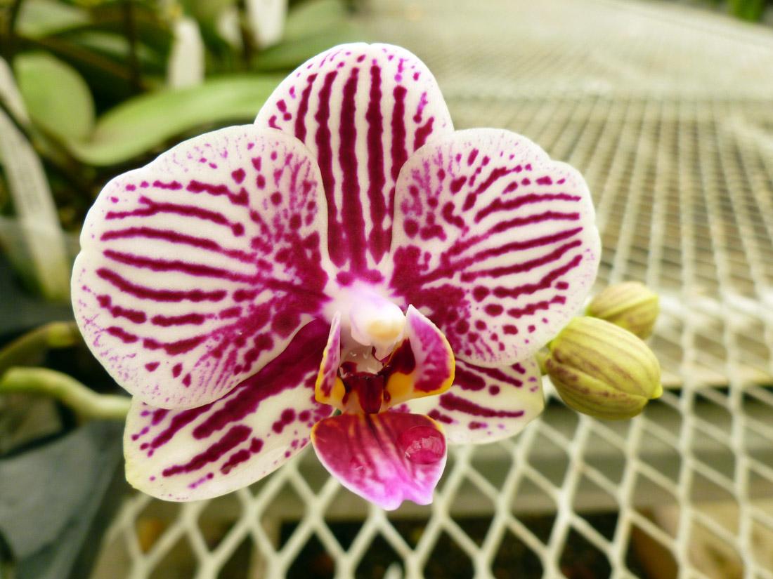 Gubler Orchid 2