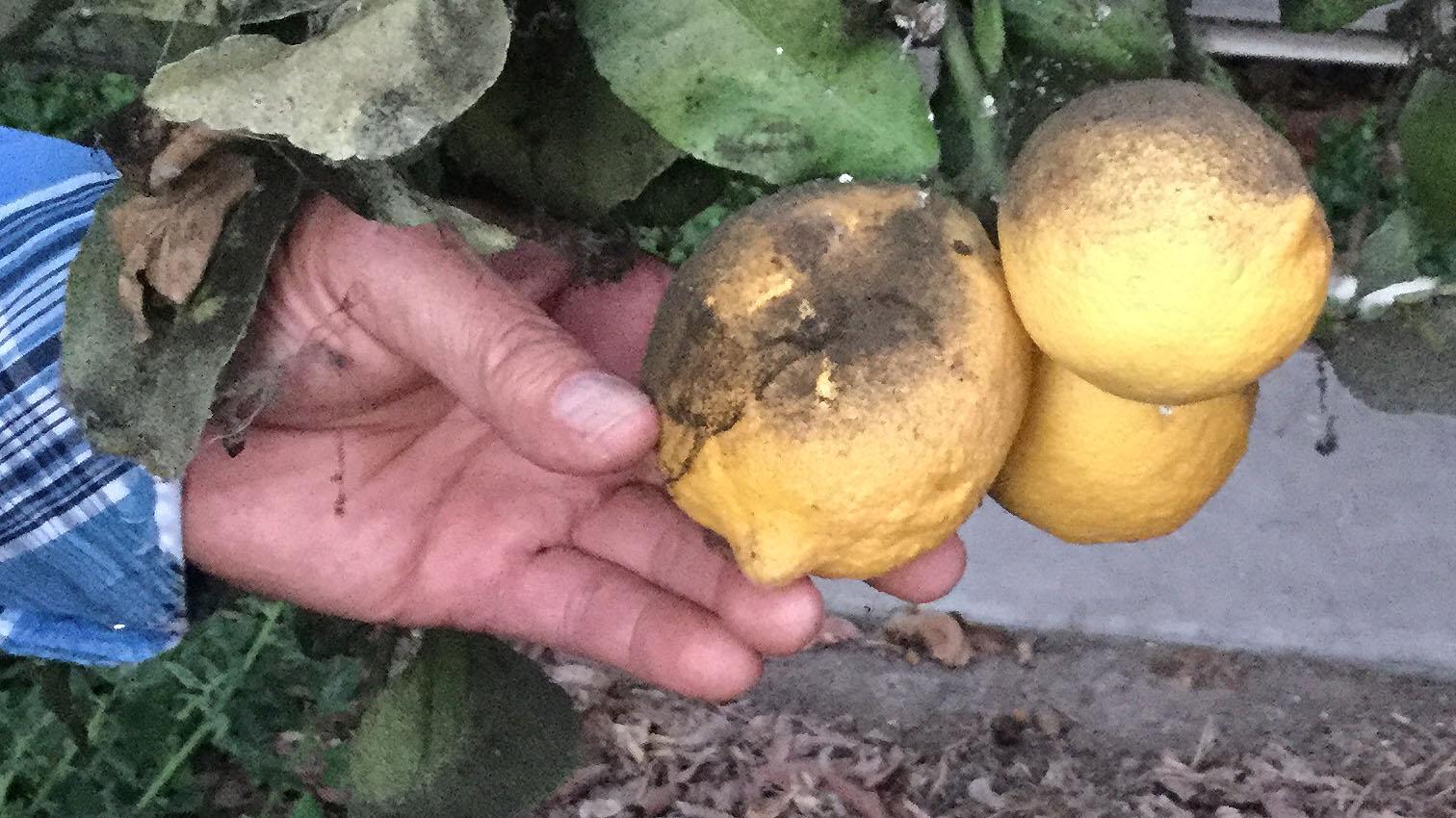 guillermo-cornejo-lemons-9-30-16.jpg