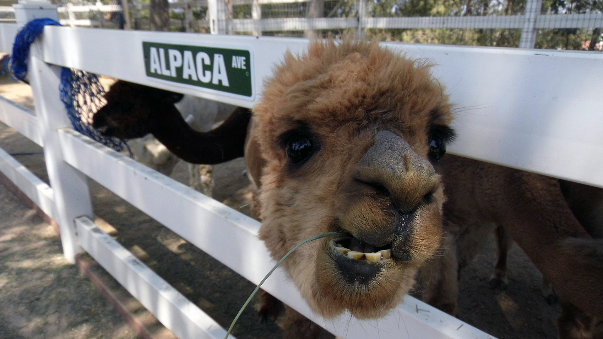 The Alpaca Hacienda | Sandi Hemmerlein