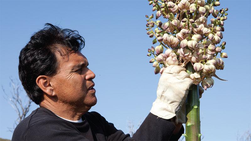 Abe Sanchez harvests yucca flowers