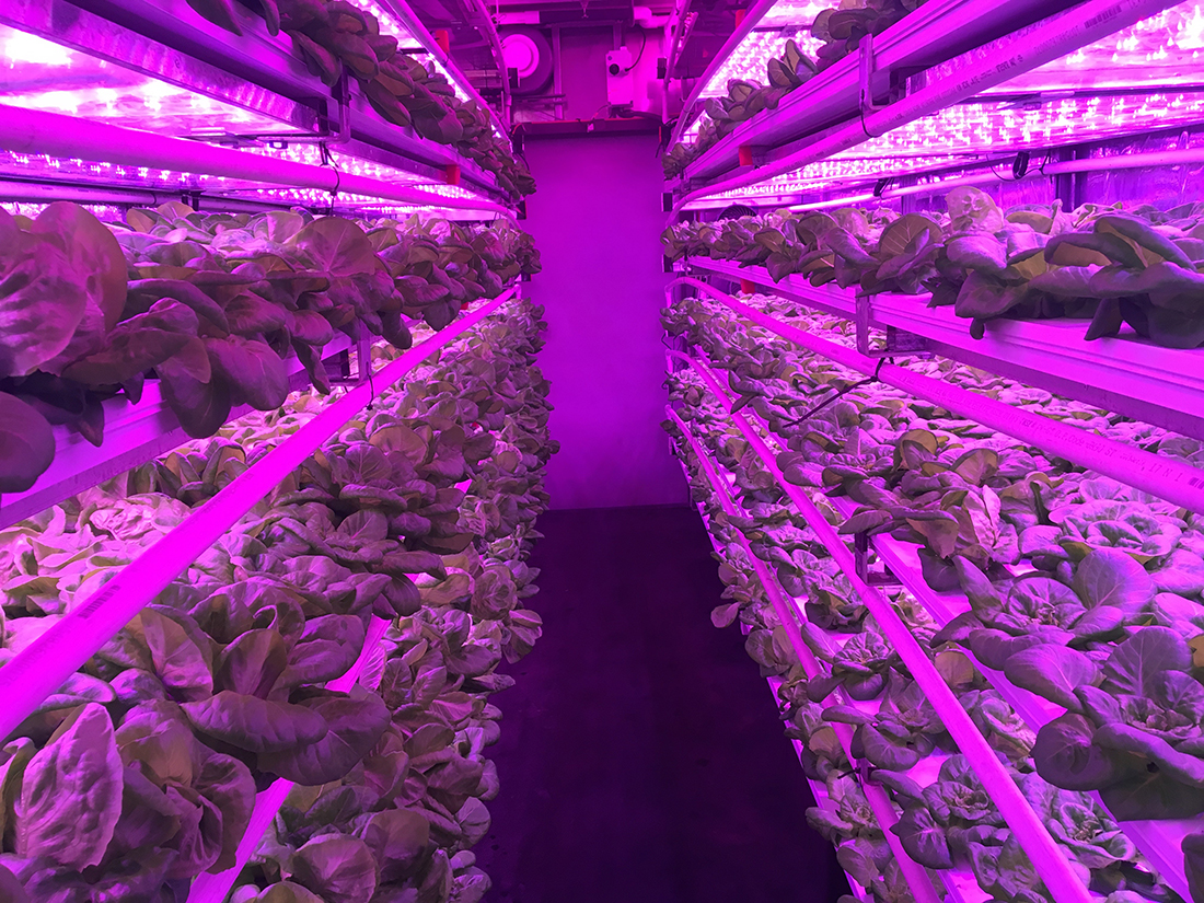 Our proprietary red and blue LED lights that help the Butterhead lettuce grow at maximum efficiency | Courtesy of Local Roots
