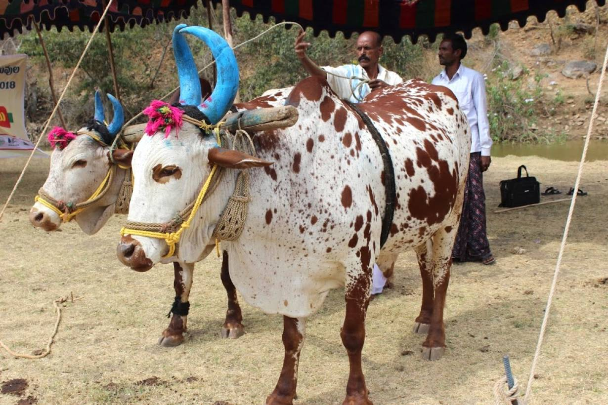 A view of a Poda Thurupu bull for sale at an animal market in India's Telangana state. | Photo: Nemani Chandrasekhar/WASSAN