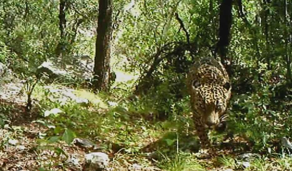 jaguar-7-20-16.jpg
