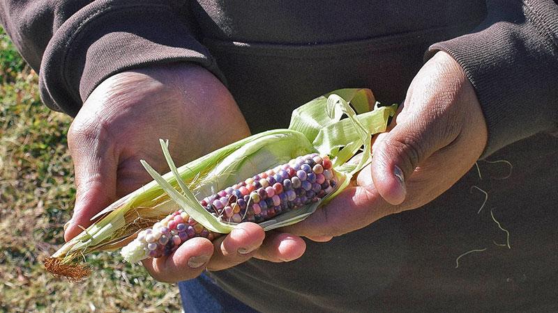 Joseph miller holds an ear of glass corn