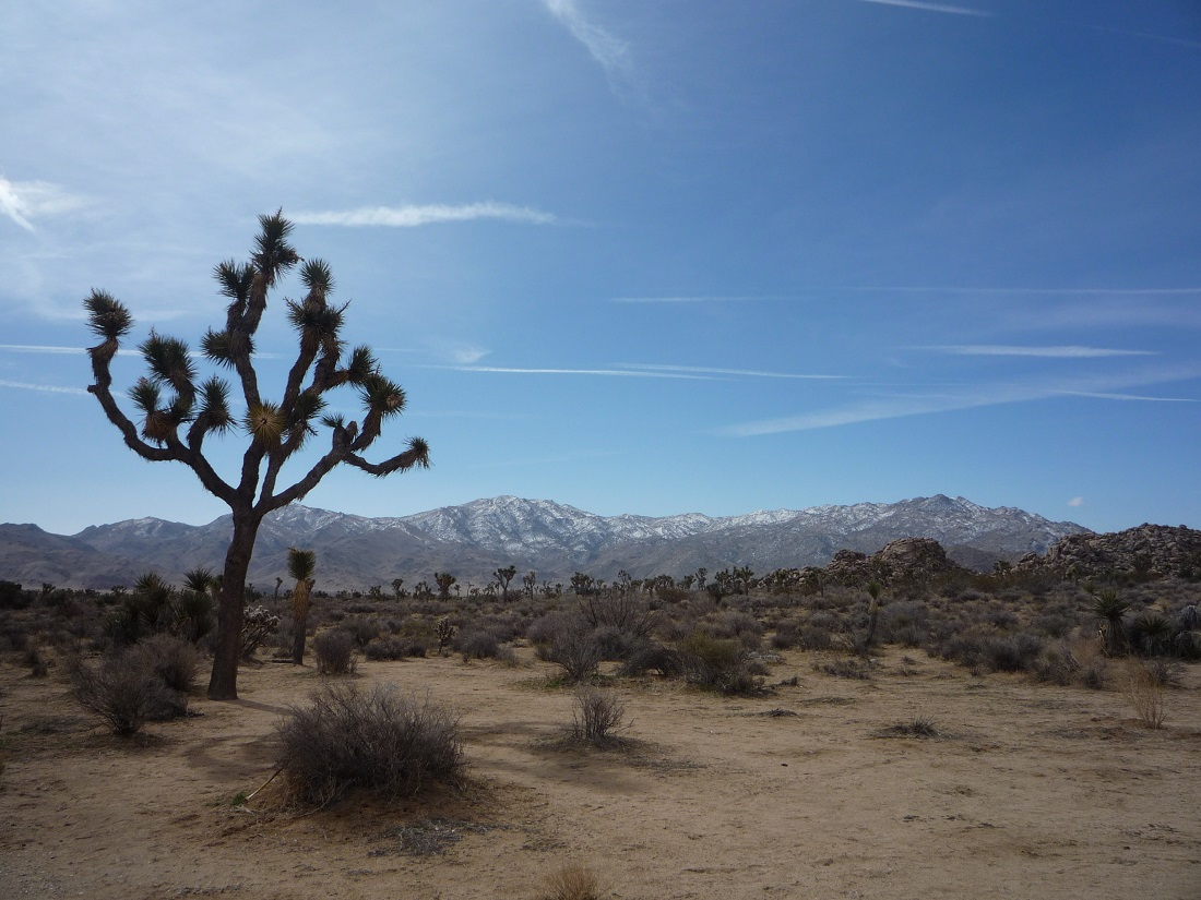 Succulents: Joshua Tree (2)