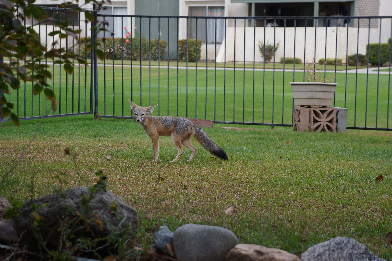 kit-fox-lawn-4-10-16.jpg