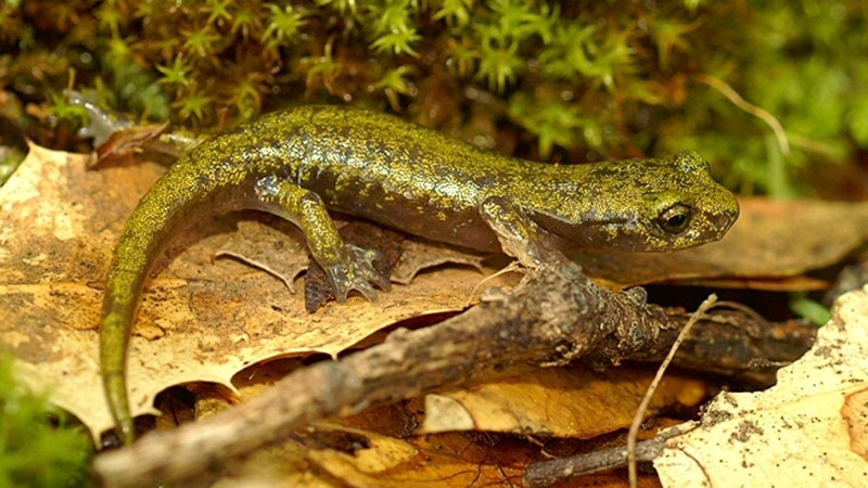 Limestone salamander   Photo: Henk Wallays, some rights reserved