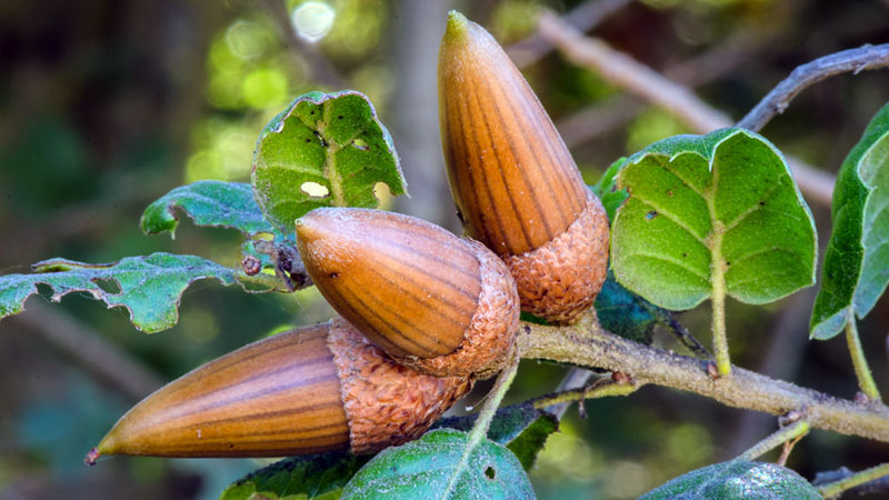 live-oak-acorns-11-14-16.jpg