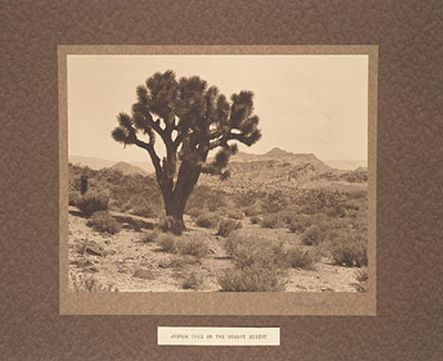 A Joshua tree in the Mojave Desert | The Frederick Monsen Ethnographic Indian Photographs/Huntington Digital Library