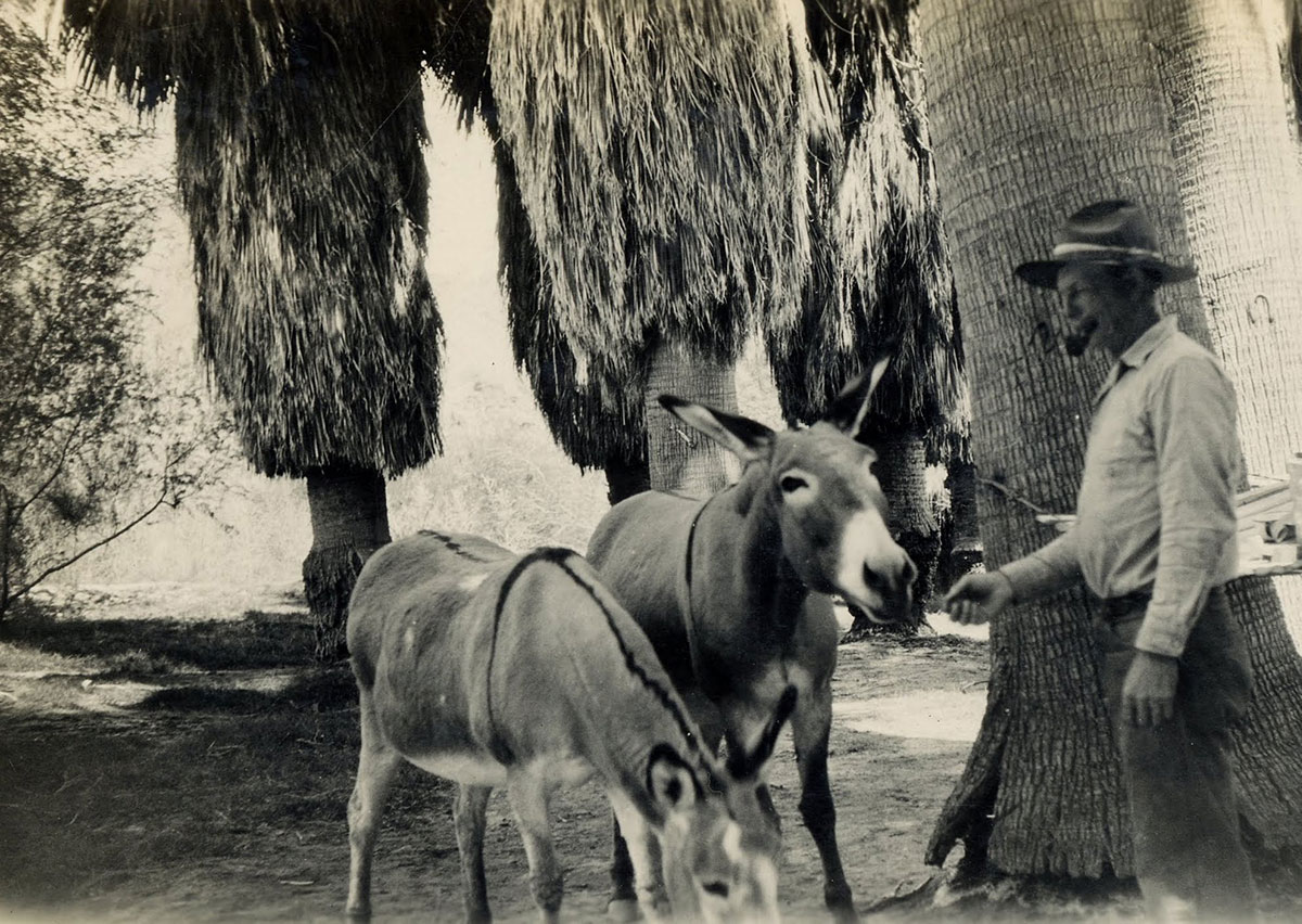 Prospector Gus Lederer treated his burros like his family, baking a pancake for each one every morning. Corn Springs, 1928. | Lula Mae Graves photographer. Warner Graves Collection.