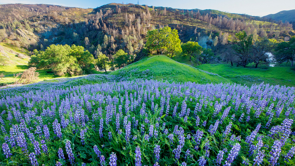 Berryessa Snow Mountain gives you all the lupins it's got. | Photo: Bob Wick, BLM
