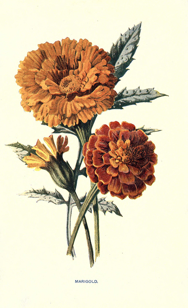 Marigold | Biodiversity Heritage Library | Familiar Garden Flowers, 1907 (CC BY-NC-SA 2.0)