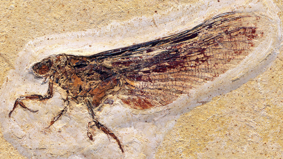 mayfly_fossil_900.jpg