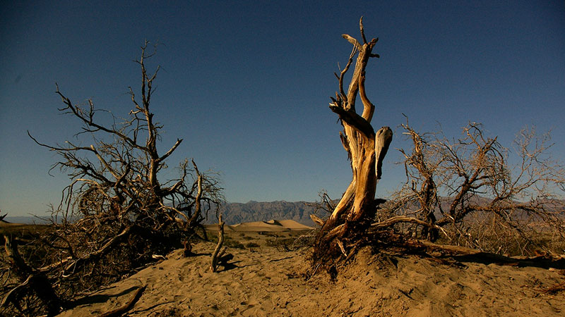 Mesquite trees swallowed by sand in death Valley