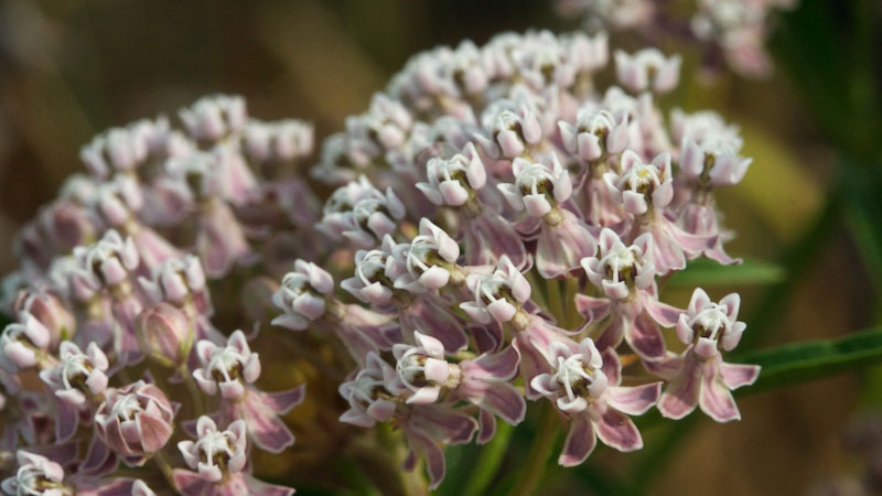 Narrow-leaf milkweed in bloom | Photo: Brent Miller, some rights reserved