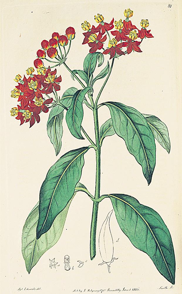 Milkweed | S. Edwards, Botanical Register Vol.1, 1816