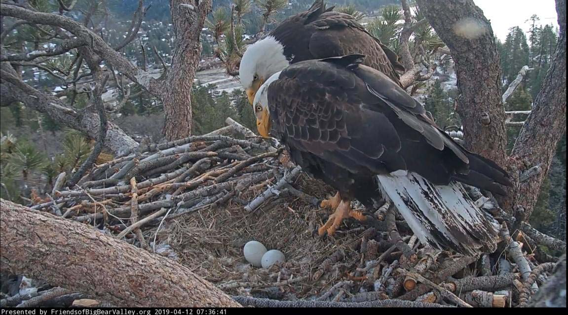 Jackie and Shadow oversee the two eggs in their nest. | Still courtesy of Friends of Big Bear Valley's Facebook page