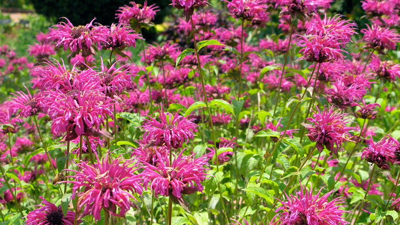 A bed of non-native Monarda in Southern California, at the Huntington Botanic Garden | Photo: Mary Molinaro, some rights reserved