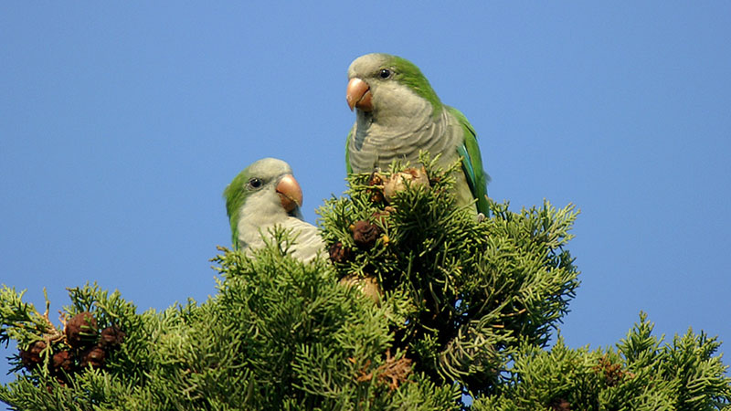 Will monk parakeets be the next Californian parrot?   Photo: Ferran Pestaña, some rights reserved