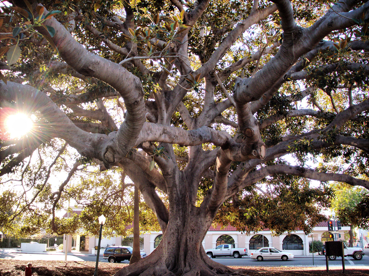 Moreton Bay fig tree | Wendell/Flickr