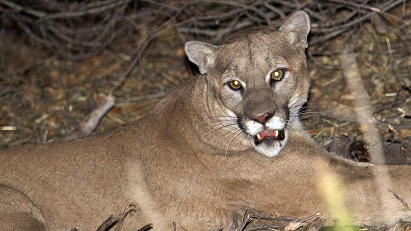 mountain-lion-p45-12-1-16.jpg