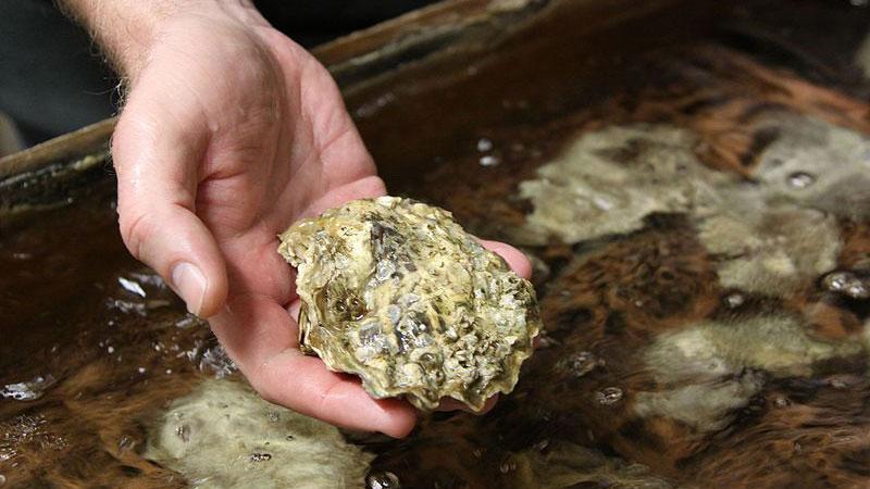 An oyster at Whiskey Creek Shellfish Hatchery in Netarts Bay, Oregon | Photo: Oregon State University
