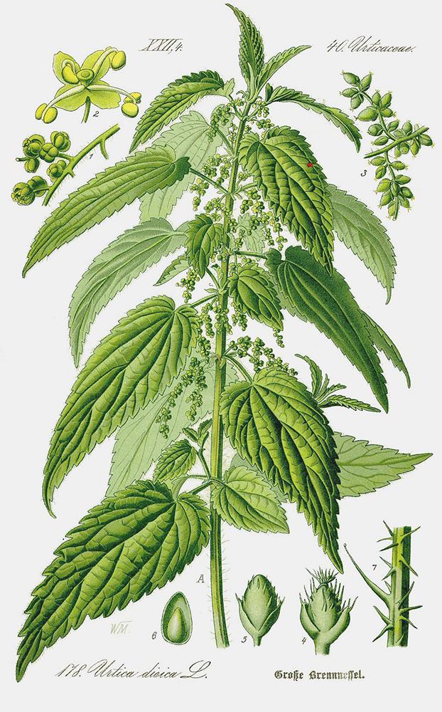Nettle (Urtica dioica) | Prof. Dr. Otto Wilhelm Thomé ''Flora von Deutschland, Österreich und der Schweiz'' 1885, Gera, Germany