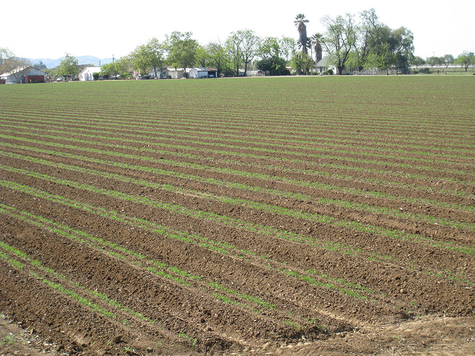 Newly Planted Rows, Stripes of Green and Brown