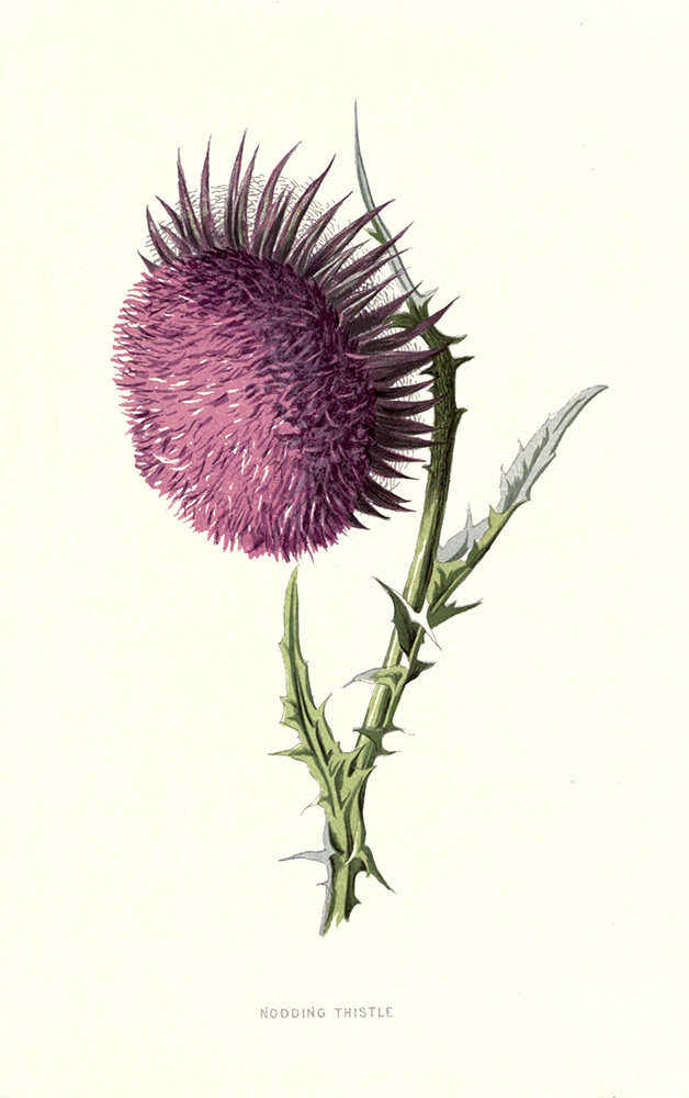 Nodding Thistle | Biodiversity Heritage Library |  Familiar Garden Flowers (CC BY-NC-SA 2.0)
