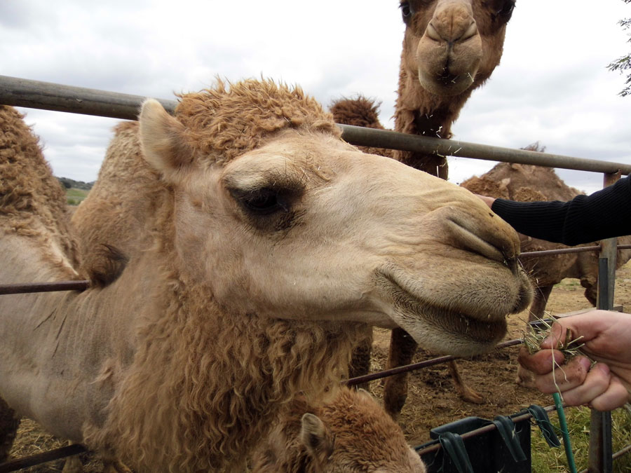 Oasis Camel | Sandi Hemmerlein
