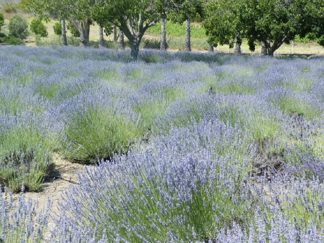 Courtesy Ojai Valley Lavender Festival