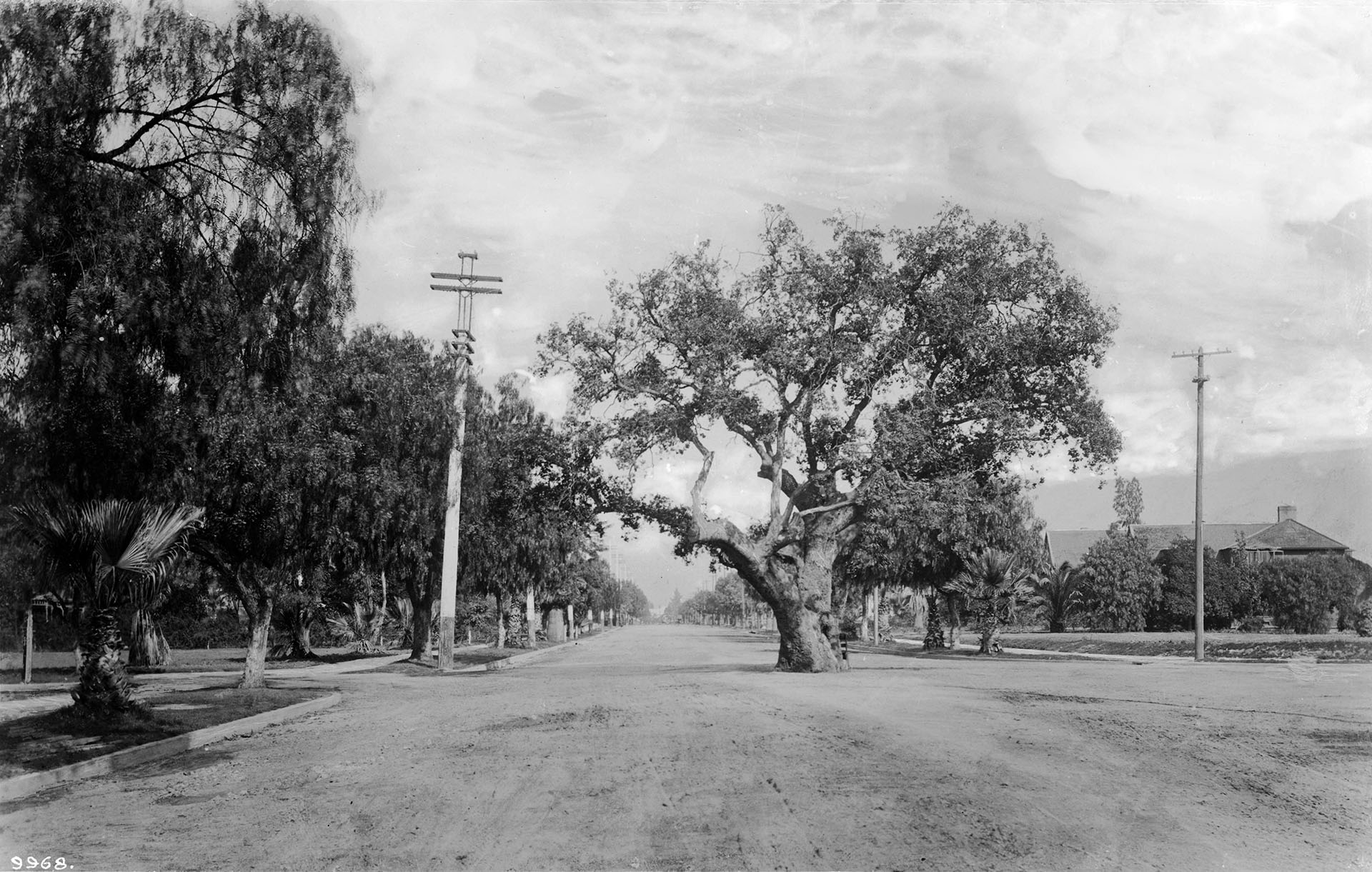 A live oak at Orange Grove and California in Pasadena