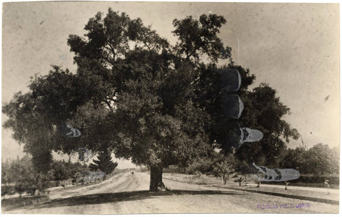 An oak tree at Orange Grove Avenue near its intersection with Columbia
