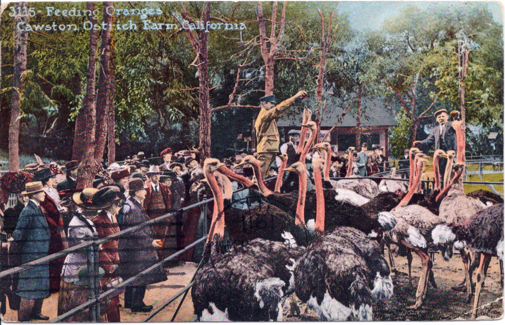 Feeding time at Southern California's ostrich farms was often a highlight. Vistiors enjoyed watching whole oranges slide down the birds' gullets. Postcard courtesy of the David Boule Collection.