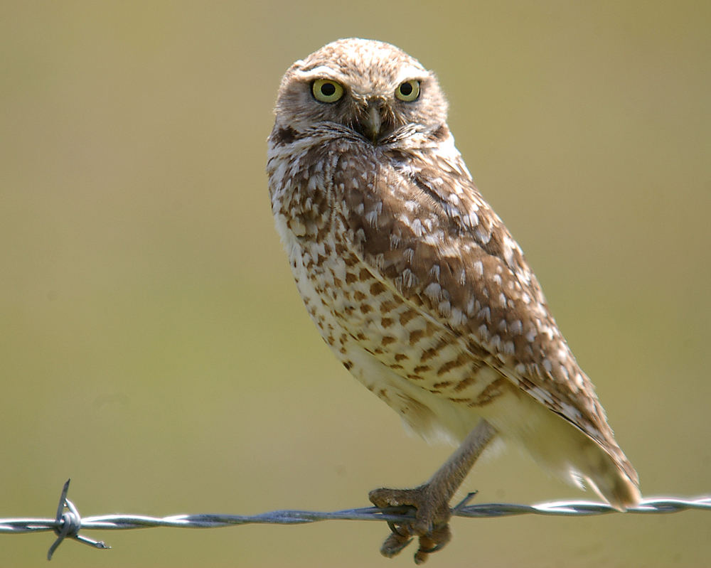 Burrowing owl at CPNM | Photo: Bob Wick/BLM