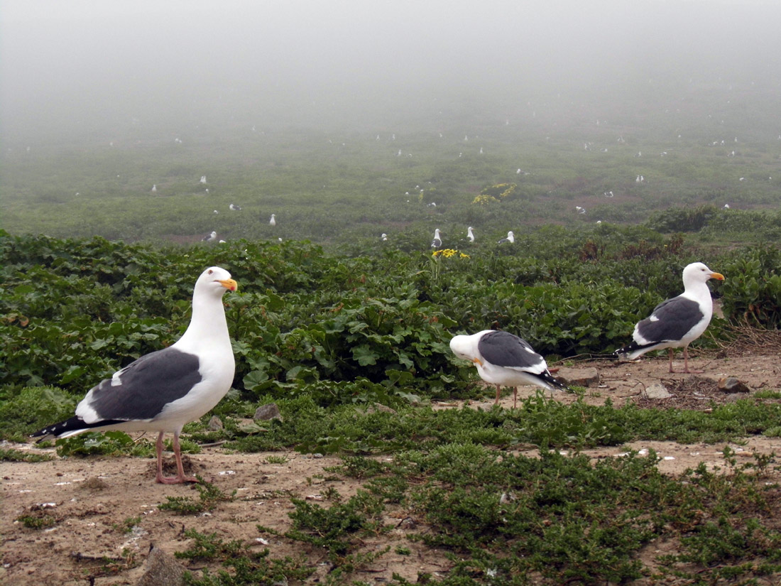 Wildflowers Are Blooming and Seagulls Are Mating on Anacapa Island