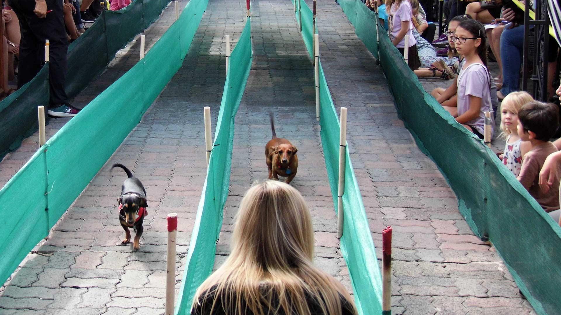 Dachshunds run down a racing lane at a wiener dog race