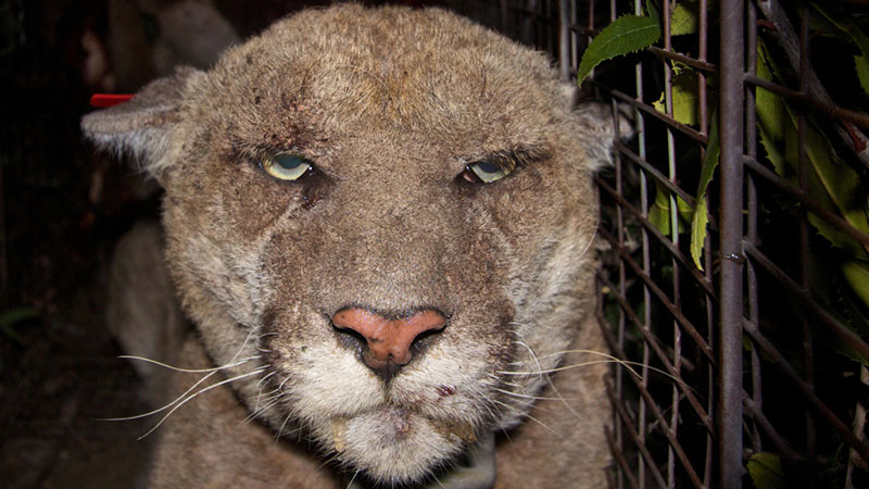 Mountain Lion P22 with mange
