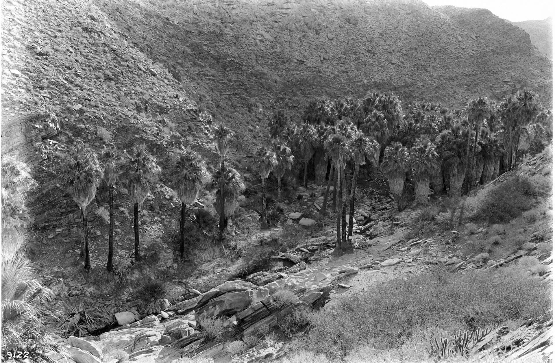 Native Washingtonia filifera palms growing in an oasis near Palm Springs, circa 1900. Courtesy of the Title Insurance and Trust / C.C. Pierce Photography Collection, USC Libraries.