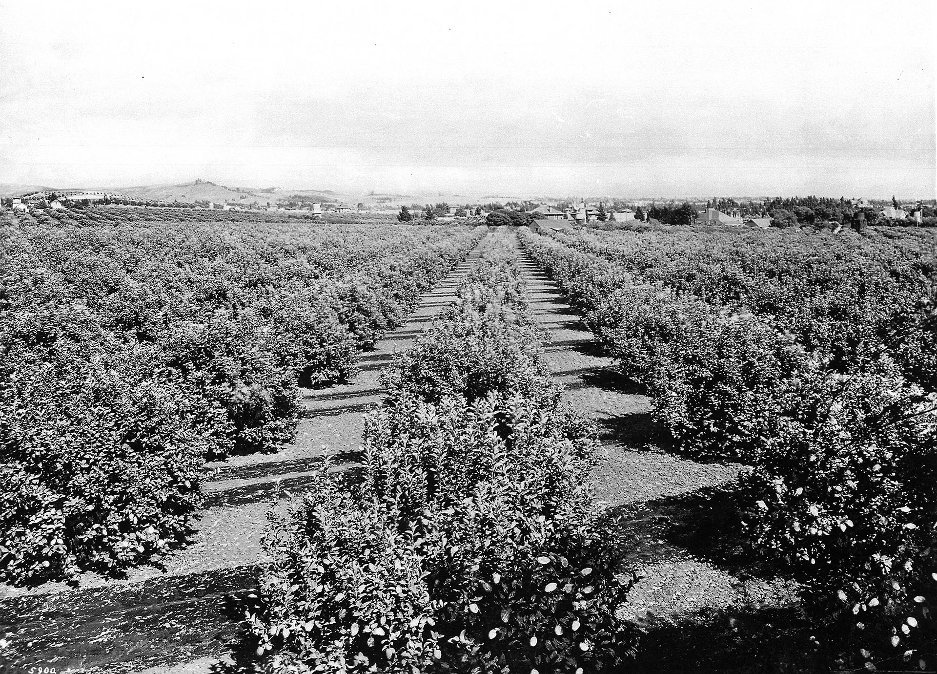 Panoramic view of East Hollywood looking northeast from lemon groves, Los Angeles, ca.1905