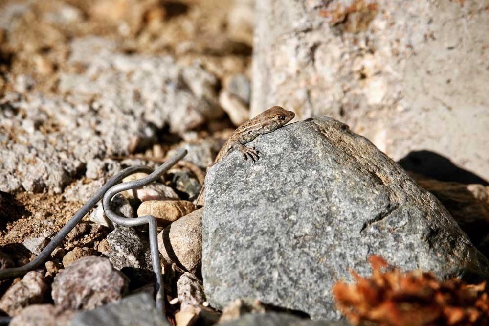 A western fence lizard suns itself among curly remnants of a chain-link fence at Taylor Yard. | Courtney Cecale