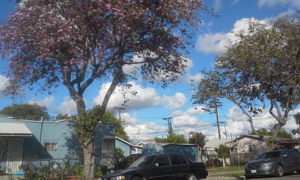 Jacarandas South LA