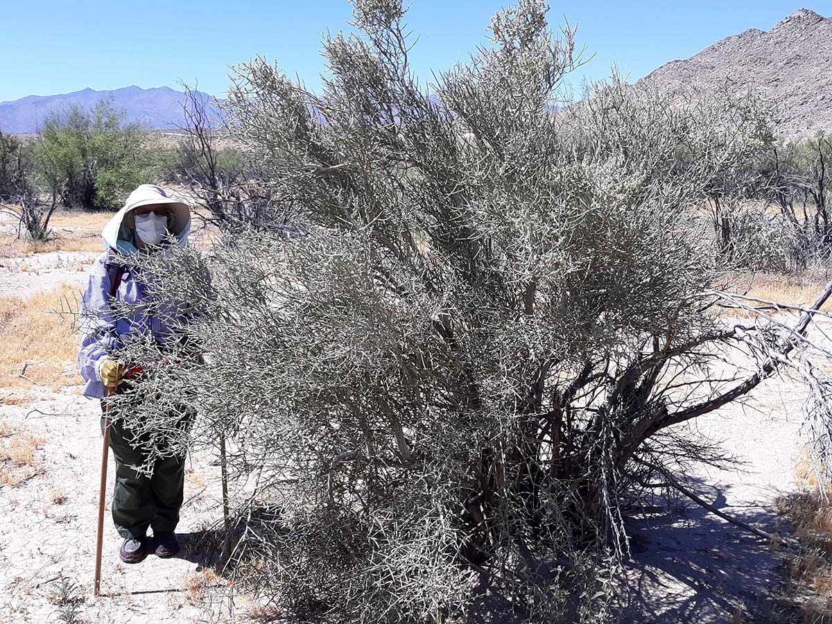 Edie Harmon stands next to a crucifixion thorn within the Jacumba Wilderness area on June 7, 2020. | Nick Ervin