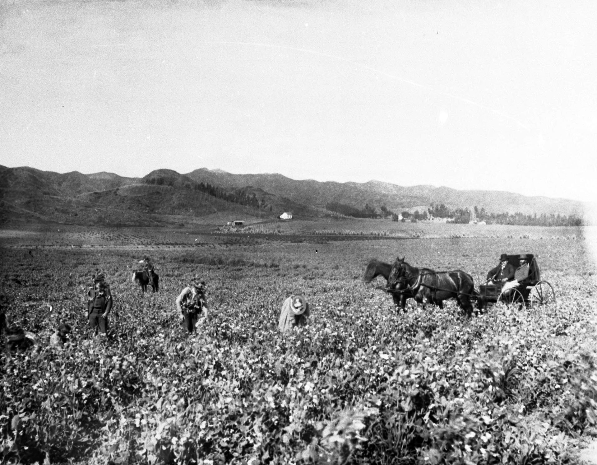 Small group of people picking peas on the Hammel and Denker ranch, Bevery Hills, west of Hollywood, ca.1903