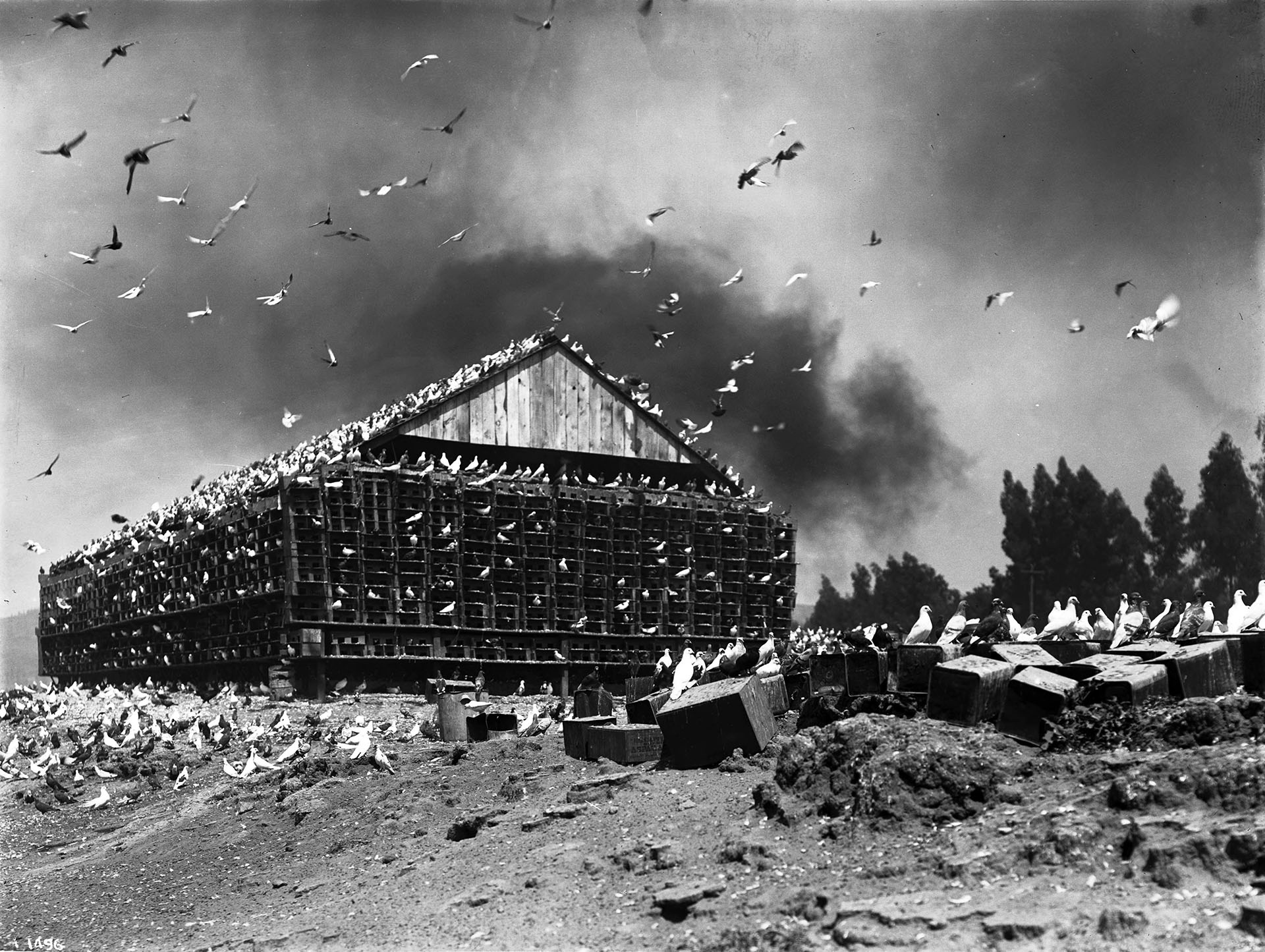 Massive bird coop covered in pigeons on a pigeon ranch on the Los Angeles River, ca.1900