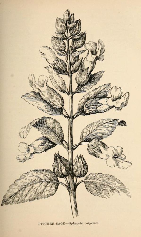 Pitcher Sage | Biodiversity Heritage Library | Wildflowers of California 1902, public domain