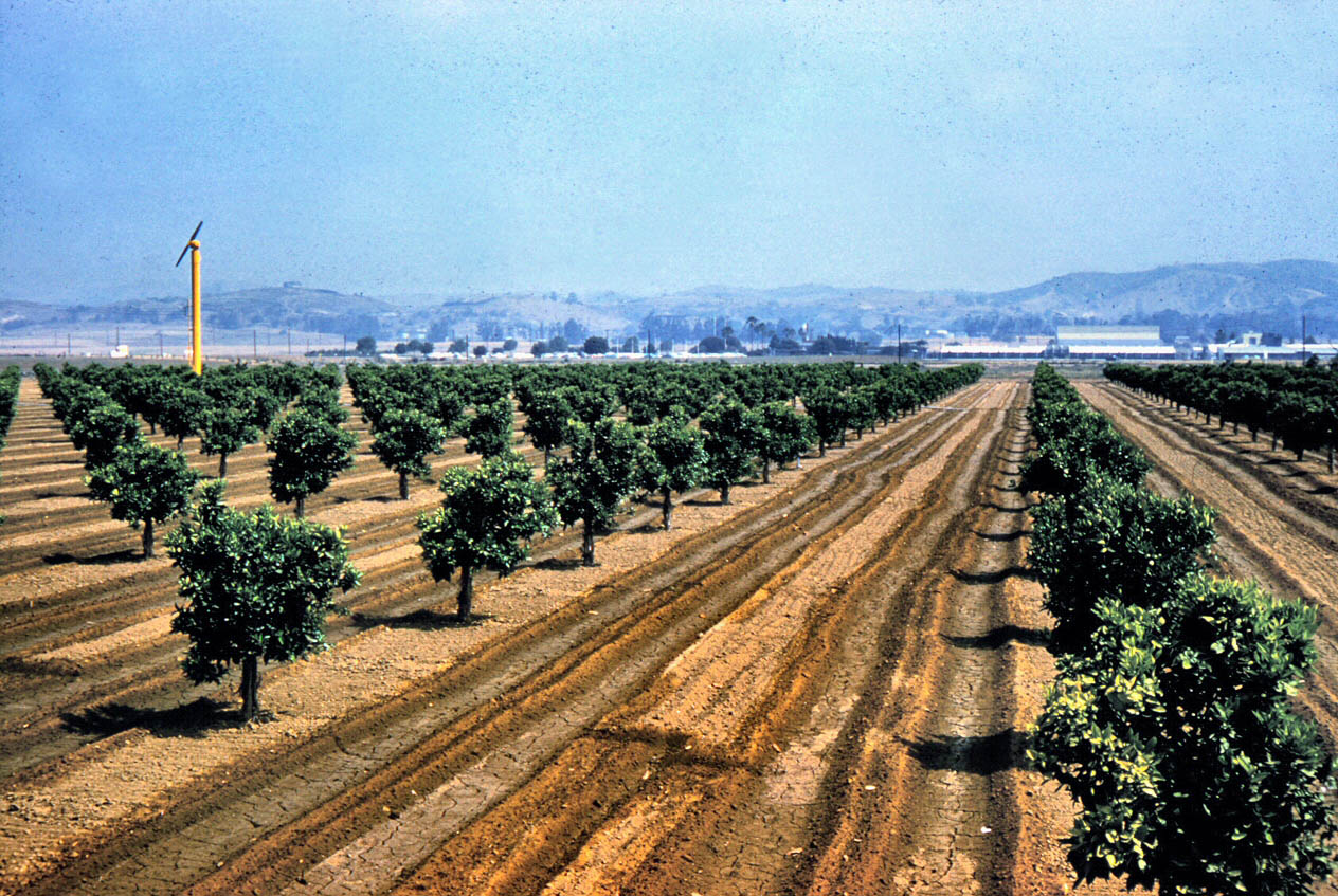 Citrus trees in Placentia, 1961. Photo courtesy of the Orange County Archives.
