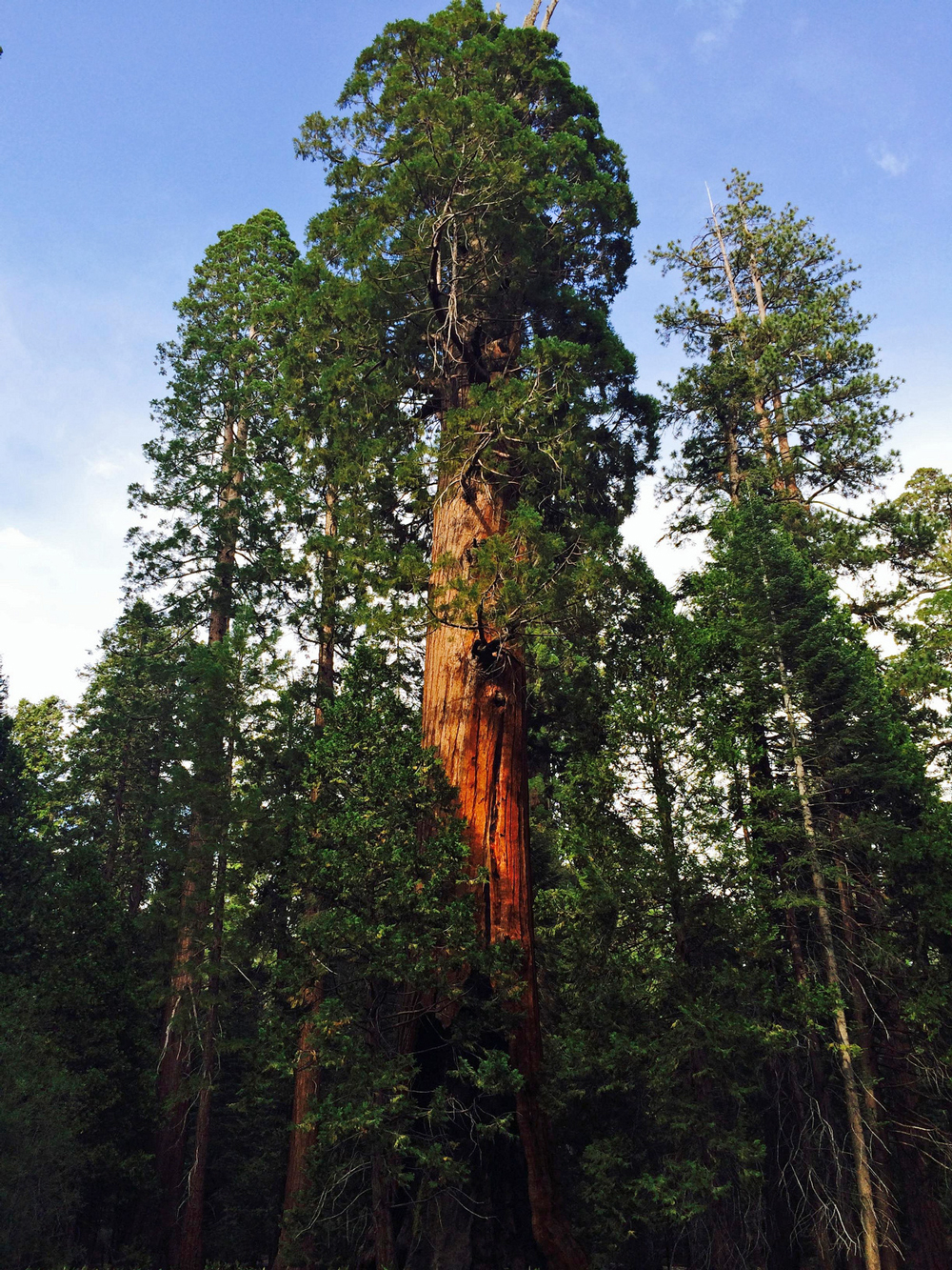 A grove of giant sequoias | Photo: Christine Warner Hawks, some rights reserved