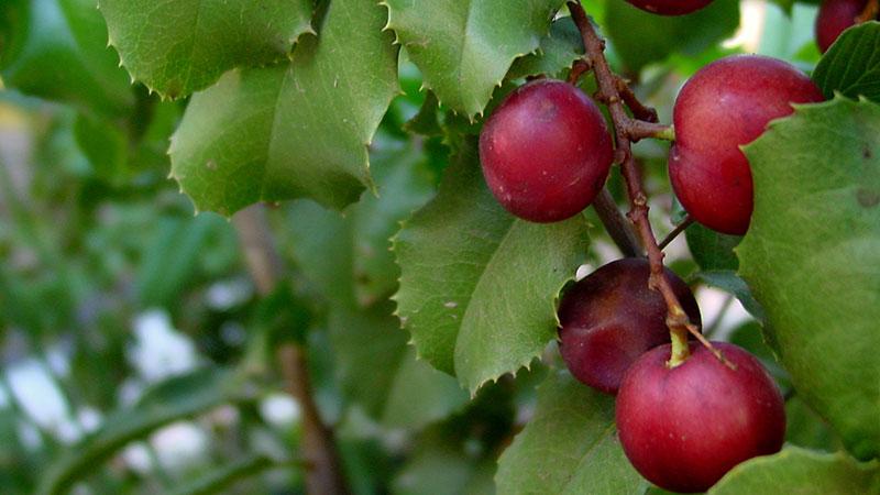 prunus-ilicifolia-11-14-16.jpg