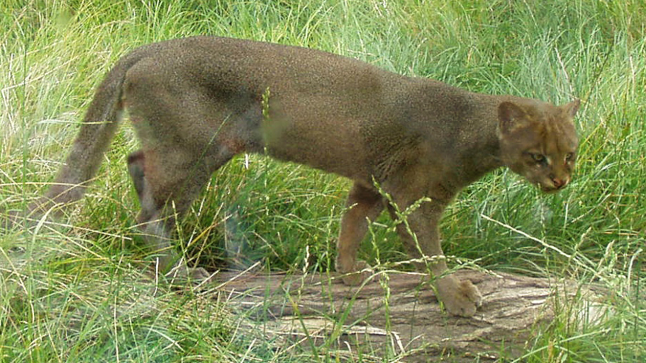 Gulf Coast jaguarundi | Photo: USFWS